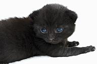 Domestic cat, black kitten, side view - 11351CS-U