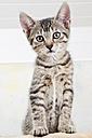 Domestic cat, kitten, portrait - 11336CS-U