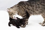 Domestic cats, Cat licking fur of kitten - 11311CS-U