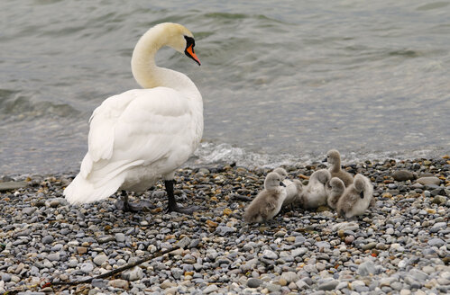 Germany, Baden Württemberg, Lake Constance, Mute swan (Cygnus olor) intently watching over cygnets - SMF00490