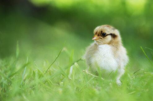 Germany, Baden-Württemberg, Chicken in meadow - SMF00463