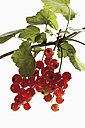 Red currants (Ribes rubrum) on branch, close-up - 11757CS-U