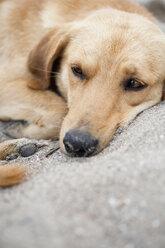 Dog lying in sand, portrait - JRF00136