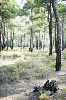 Greece. Pine tree forest - JRF00121