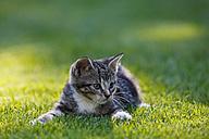 Germany, Bavaria, Kitten lying in grass, portrait - FOF01972