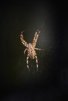 Germany, Garden spider (Araneus diadematus) in net - TLF00384