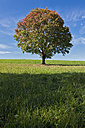 Germany, Bavaria, Maple tree in field - FOF02025