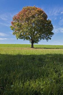 Germany, Bavaria, Maple tree in field - FOF02025