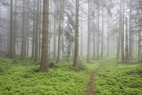 View of foggy forest. - WWF01147