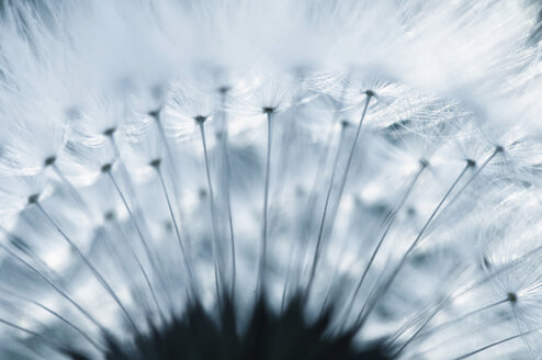 Germany, Dandelion, blow ball (Taraxacum), extreme close-up - SMF00512