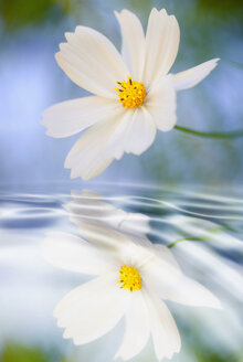 Germany, Cosmos flowers (Cosmos bipinnatus) reflecting in water, close-up - SMF00503