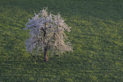 Switzerland, Zug, Pear tree in blossom in field at springtime, elevated view - RUEF00335