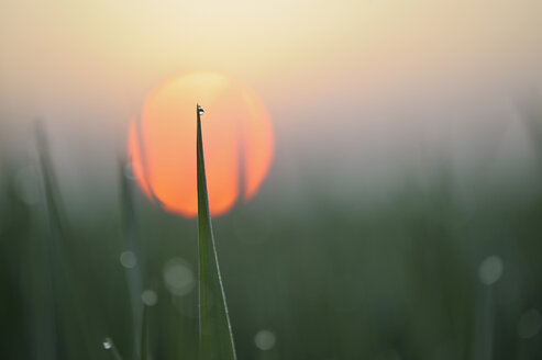Germany, Bavaria, Sunrise, Dewdrops on Corn leaves, close-up - RUEF00326