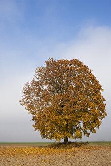 Germany, Bavaria, Maple tree in autumn - FOF02031