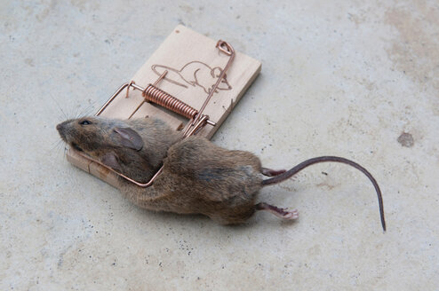 Germany, Baden-Württemberg, Stuttgart, Dead Mouse caught in trap, elevated view - AWD00442