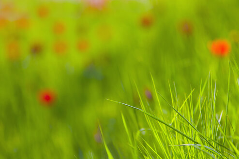 Germany, Bodensee, Close up of meadow with corn poppy in background - SMF00579