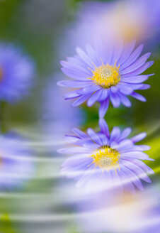 Close up of aster flower - SMF00570
