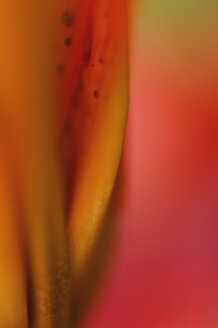 Close up of lily flower - SMF00555