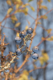 Germany, Nennslingen, Close up of sloes on limb - SRSF00102