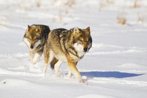Bavaria, European wolf walking in snow - FOF02073