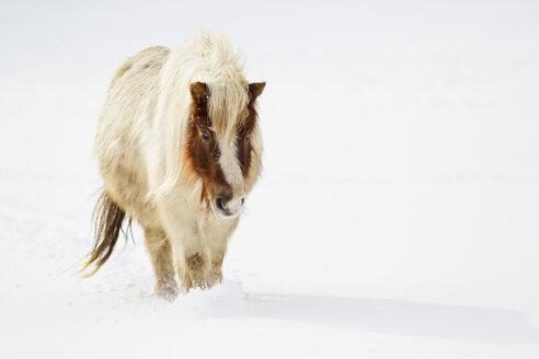 Bavaria, Shetland pony walking in snow - FOF02067