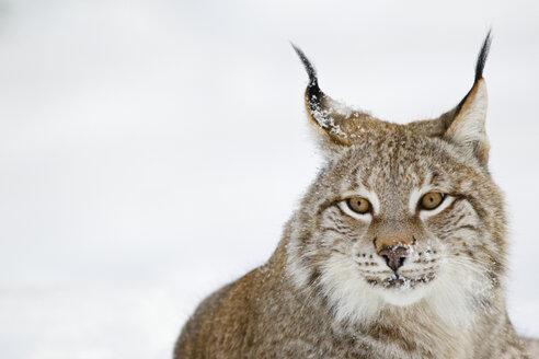 Germany, Bavaria, European lynx in snow - FOF02061