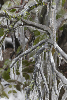 Germany, Hamburg, Branches covered with ice, close up - TLF00419