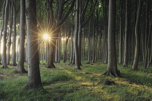 Mecklenburg-Western Pomerania, Beech tree forest - RUEF00371