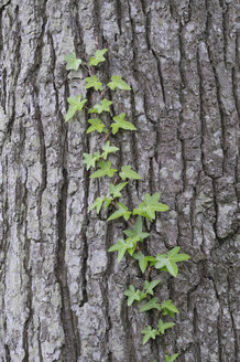 Germany, Common ivy growing on tree trunk - RUEF00356
