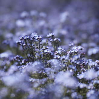 Germany, Forget-me-not flowers, close up - TLF00480
