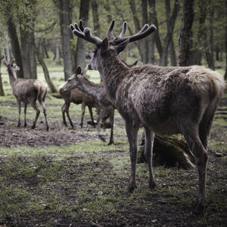 Germany, Hamburg, Group of deers in wildlife park - TLF00477