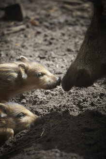 Germany, Hamburg, Young boars with mother boar - TLF00471