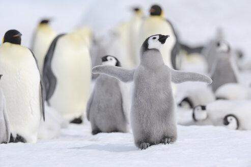Antarctica, View of emperor penguin in group - RUEF00462