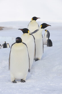 Antarctica, View of Emperor penguin in a row - RUEF00459