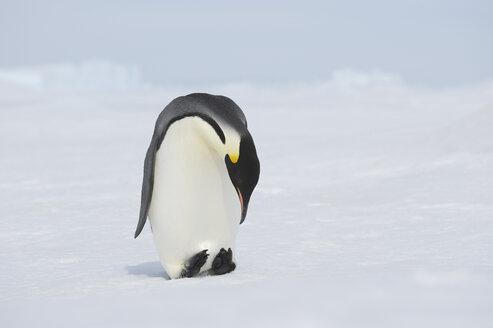 Antarctica, View of emperor penguin looking down - RUEF00441