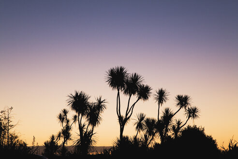 New Zealand, South Island, West Coast, Silhouette of cabbage tree at sunset - GWF001312