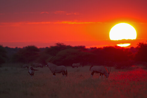 Africa, Botswana, Gemsbok in central kalahari game reserve at sunset - FOF002166