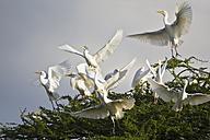 Africa, Botswana, Cattle Egret in central kalahari game reserve - FOF002173