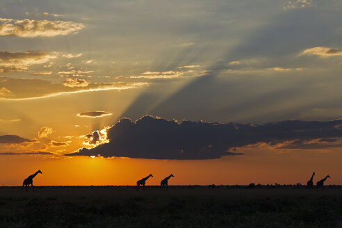 Africa, Botswana, Giraffes in central kalahari game reserve at sunset - FOF002182