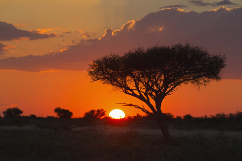 Africa, Botswana, View of central kalahari game reserve at sunset with a umbrella acacia - FOF002185
