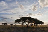 Africa, Botswana, View of central kalahari game reserve with a umbrella acacia - FOF002193