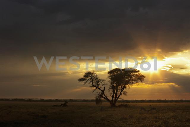 Africa, Botswana, Springbok in central kalahari game reserve with a umbrella acacia - FOF002196 - Fotofeeling/Westend61