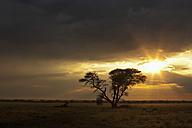 Africa, Botswana, Springbok in central kalahari game reserve with a umbrella acacia - FOF002196