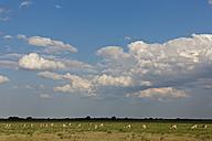 Africa, Botswana, Springbok in central kalahari game reserve - FOF002199