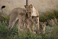 Africa, Botswana, Lioness with cubs in central kalahari game reserve - FOF002204