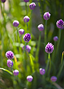 Close up of chive flowers - PSF000596