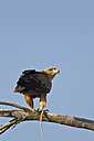 Africa, Botswana, South Africa, Kalahari, Tawny Eagle in Kgalagadi Transfrontier Park - FOF002290