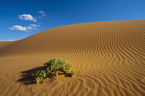Africa, Namibia, Namib Desert, Bush on dunes in namib-naukluft national park - FOF002378