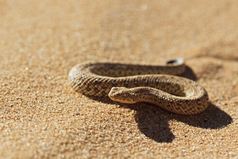 Africa, Nambia, Bitis peringueyi crawling on sand in namib desert - FOF002451