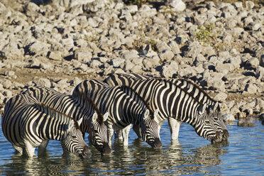 Africa, Namibia, Burchell's zebra drink water from waterhole in etosha national park - FOF002531